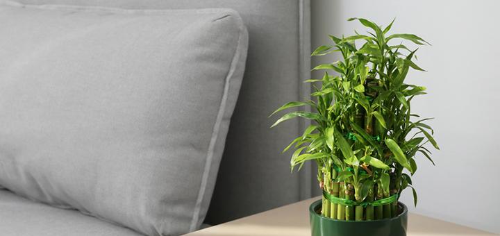 bambu feng shui plantas beneficiosas