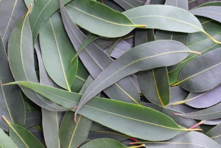 eucalipto aroma departamento
